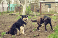 Tafsar stor tillfällig hund två med lyftt anseende på jordningen Royaltyfri Foto