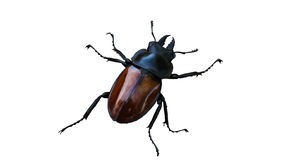 Tag-beetle Royalty Free Stock Photo
