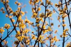 Tag des blühenden Hartriegels im Frühjahr im schönen Wetter Stockbilder