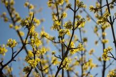 Tag des blühenden Hartriegels im Frühjahr im schönen Wetter Stockfoto