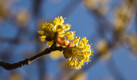 Tag des blühenden Hartriegels im Frühjahr im schönen Wetter Lizenzfreies Stockbild