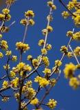Tag des blühenden Hartriegels im Frühjahr im schönen Wetter, wenig Gelb Lizenzfreies Stockbild