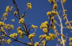 Tag des blühenden Hartriegels im Frühjahr im schönen Wetter, wenig Gelb Stockbilder