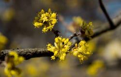 Tag des blühenden Hartriegels im Frühjahr im schönen Wetter, wenig Gelb Stockfotografie