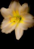 Tag-Lilie auf Schwarzem Stockfotos