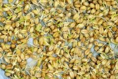 3. Tag nach wachsen wheatgrass Lizenzfreie Stockfotos