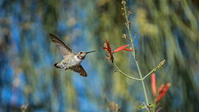 Tag, You`re It. A shot of a Hummingbird in flight Stock Image