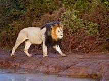 Tagesanbruch-Löwe Stockbild