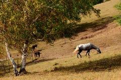 Tagesansicht der Herbstszene mit einem weißen Pferd Stockfotos