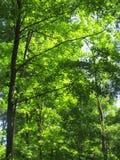 Tageslicht durch Blätter Lizenzfreie Stockfotos