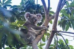 taget foto för Australien björnkoala Royaltyfria Bilder