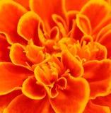 Tagete africano arancio; per fondo astratto Immagini Stock Libere da Diritti