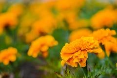 Tagete arancio Fotografie Stock Libere da Diritti