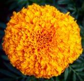 Tagete arancio Immagini Stock Libere da Diritti