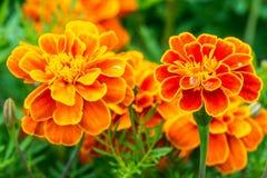 Tagete arancio in aiola nel parco della città di estate Fotografie Stock Libere da Diritti