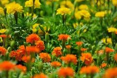 Tagete arancione Fotografia Stock