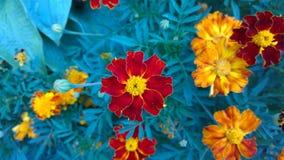 tagete Bello fiore in giardino Priorità bassa floreale fotografie stock