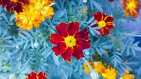 tagete Bello fiore in giardino Priorità bassa floreale immagine stock libera da diritti