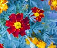 tagete Bello fiore in giardino Priorità bassa floreale Fotografie Stock Libere da Diritti