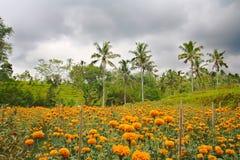 Tagete che coltiva in Bali Indonesia Immagini Stock Libere da Diritti