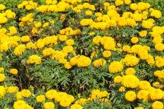 Tagete che cresce nel giardino Fotografia Stock