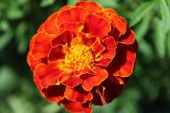 Tagete del fiore Fotografie Stock