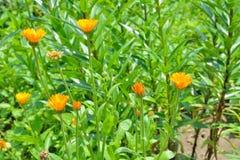 Tagete di fioritura 5 dell'erba Fotografia Stock