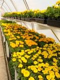Tagete di fioritura in serra commerciale Fotografie Stock Libere da Diritti