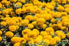Tagete giallo Fotografia Stock