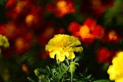 Tagete giallo del fiore di estate fotografia stock libera da diritti