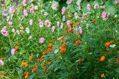 Tagetes徒步旅行队女王/王后万寿菊花 美好的庭院夏天 免版税库存图片