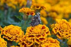 tagetes бабочки Стоковые Изображения RF