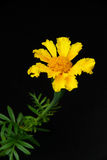 Tagetes 02 Stock Images