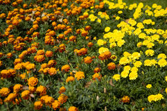 Tagetes Images stock