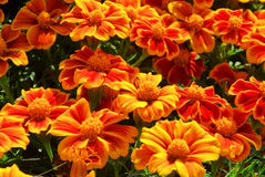 Tagetes Royalty Free Stock Photo