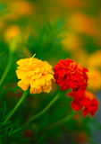 Tagetes Foto de Stock Royalty Free