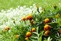 Tagetes Royalty Free Stock Images