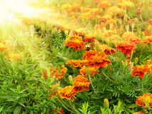Tagetes Royalty Free Stock Image