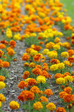 Tagetes immagini stock