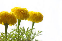 黄色Tagetes 图库摄影