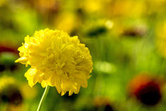 Tagetes Royalty Free Stock Photography
