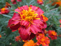 Tagetes Fotos de Stock Royalty Free