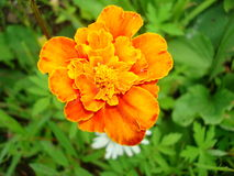 Tagetes Stock Afbeelding
