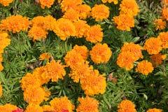 Tagetes alaranjado brilhante Fotografia de Stock Royalty Free