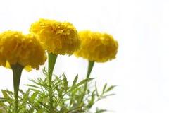 Tagetes amarillo fotografía de archivo