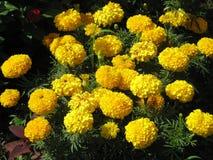 Tagetes amarillo Foto de archivo