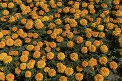 Tagetes amarillo-naranja de las flores en un macizo de flores fotografía de archivo