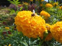 Tagetes arancio con la mosca Fotografia Stock Libera da Diritti