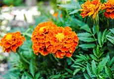 Tagetes arancio nel giardino fotografia stock