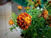 The tagetes. Belongs to domestic flower. It is beauty on window or in the garden Royalty Free Stock Photos